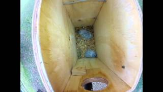 Rainbow Lorikeet chicks at home in Fox Gully nest-box
