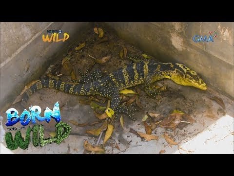 [GMA]  Born to Be Wild: Rescuing a trapped 'bayawak' from an old water tank