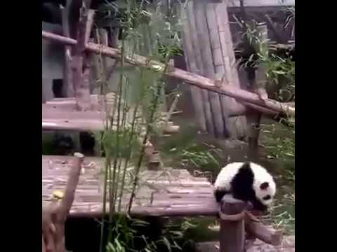 Панда прилипала