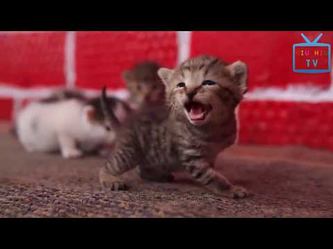 Funny Animal Mating  - Top Cute Little Kitten Meowing & Talking Compilation