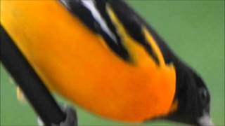 Baltimore Oriole Icterus galbula Video 1