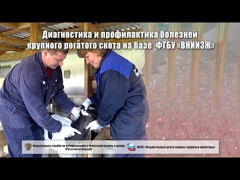 Диагностика и профилактика болезней крупного рогатого скота на базе ФГБУ «ВНИИЗЖ»