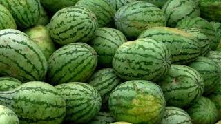 How To Plant Yellow Watermelon (Citrullus lanatus) To Fruit Fast For Beginners