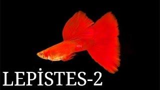 Balık Türleri: Lepistes (2. Bölüm)