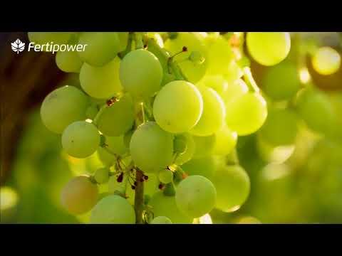 fertilizante para vinhas - É tempo de colher Resultados.