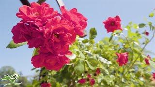 Peder B. Helland - Rose Petals