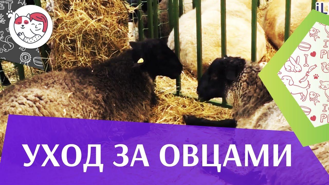 4 самых распространенных ошибки при уходе за овцами на ilikepet
