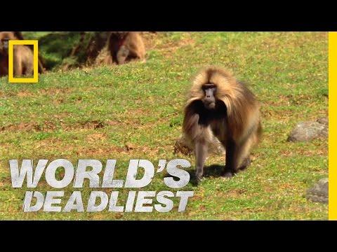 Opice dželada