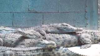 preview picture of video 'Hamat Gader, Israel - one of the largest Crocodile farm in the Middle East 3'