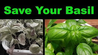 How To Rescue A Dying Basil Plant - Two Methods
