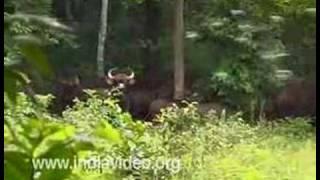The endangered Indian Gaur