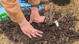 Planting Potted Roses – Family Plot