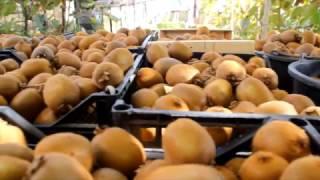 Сбор урожая киви/ Как растут киви я Ялте/ Купить саженцы киви/ Ялта/ Крым