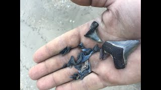 Finding megalodon shark teeth and other fossils at Calvert County MD