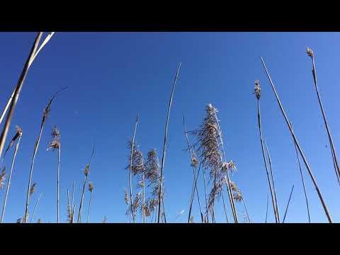 Stems of dry grass against a blue sky. Стебли сухой травы на фоне голубого неба.