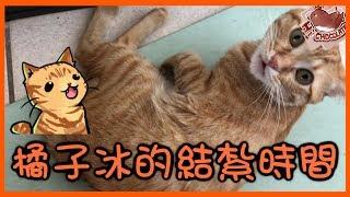 【巧克力】『橘子冰的日常』- 橘子冰的結紮時間! ฅ•ω•ฅ