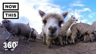 Alpacas of the Andes Mountains in Peru | Unframed by Gear 360 | NowThis
