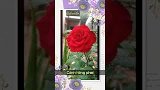 Giọng trầm   Cánh hồng phai   Bằng kiều idol