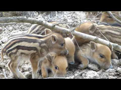 Baby wild pigs at Waldau Park Bonn