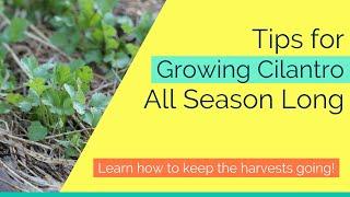 Tips for Growing Cilantro All Season Long