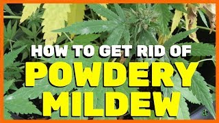 How to Get Rid of Powdery Mildew on Cannabis Plants [PM]