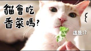 【黃阿瑪的後宮生活】貓會吃香菜嗎?