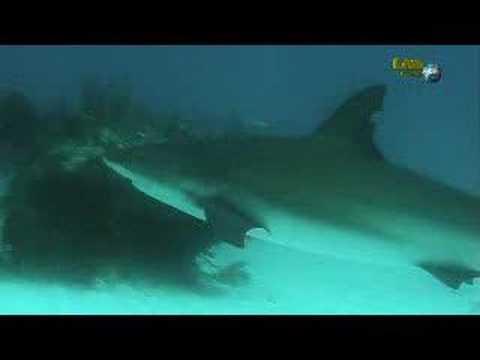 Wyndham Viva Dive/Shark alley, Shark Alley,Bahamas
