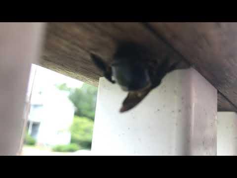 Carpenter Bees Mistaken for Bumblebees in Jackson, NJ