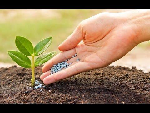 , title : 'The importance of fertilizer in potato farming land