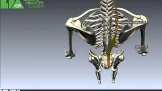 Longissimus Muscle