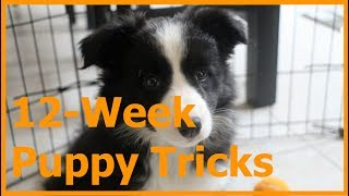 Border Collie Puppy Tricks and Training (12-Week)