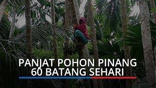 Demi Hidupi Keluarga, Janda Tangguh Asal Aceh Mampu Panjat 60 Pohon Pinang dalam Sehari