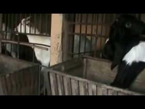 Video Cara Beternak Kambing Etawa Menjadi Jutawan