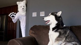 Husky Pranked By Wolf Mask