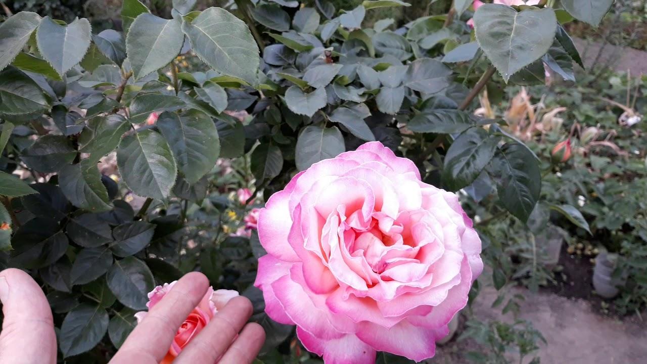 Роза чайно-гибридная Chicago Peace