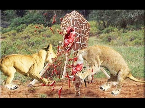 Giraffe cut down by Lion