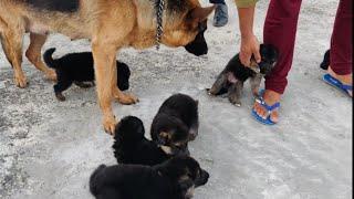 German Shepherd Puppy For Sale 9728011133 Doggyz World