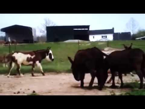 Cute Donkey Mating