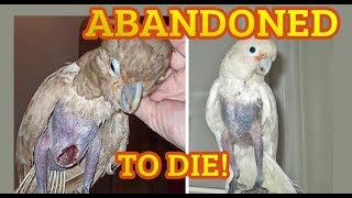 ABANDONED BIRD DIDN'T EAT OR DRINK FOR 5 DAYS! Parrot left behind trap to die Part 2 BAD BREEDER
