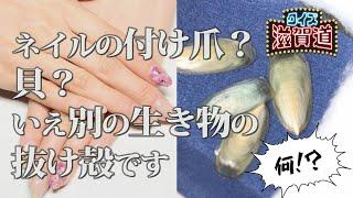 ネイルの付け爪?貝?なんの生き物の殻?:クイズ滋賀道