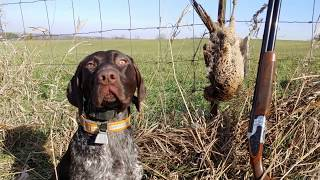Pheasant Hunting With GSP Puppy