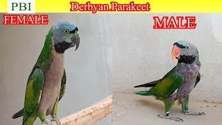 mustache parakeet male and female - TH-Clip