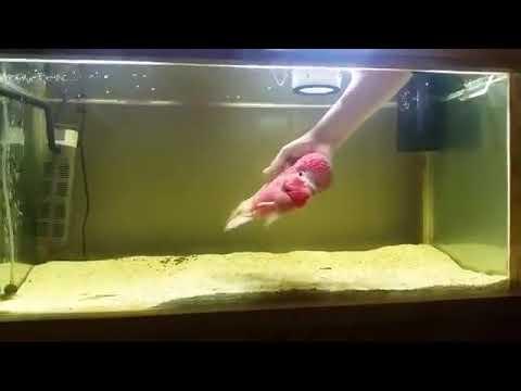 人になつく愛嬌のある魚「フラワーホーン」
