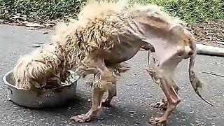 Terk Edilmiş Köpeğin Kurtarılması Kalbinizi Eritecek, Köpeğin Geçirdiği Değişimi İzleyin