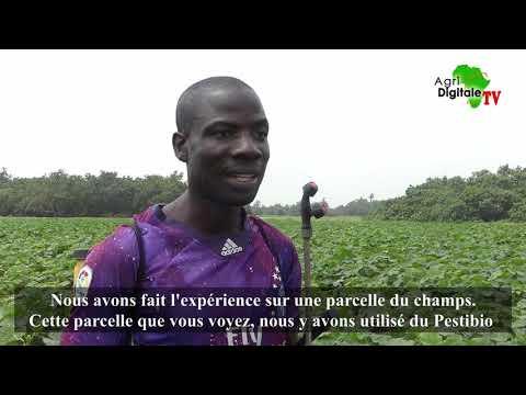 Togo- Témoignage sur le pesticide biologique 'Pestibio' Togo- Témoignage sur le pesticide biologique 'Pestibio'