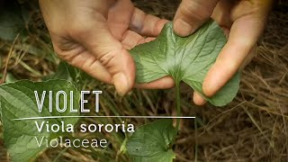 VIOLET Love: How to bring this wild potent food & gentle medicine into your life.