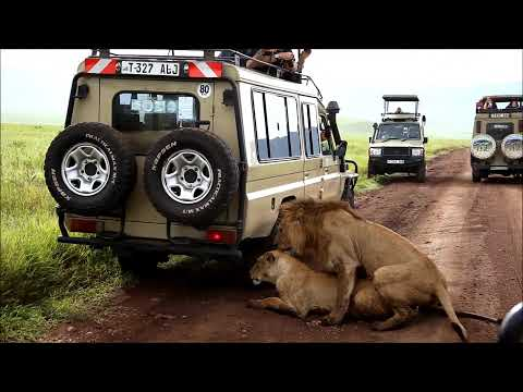 Lions Mating at Ngorongoro Crater Tanzania Safari