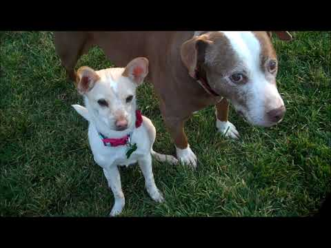 Dylan - I love all dogs big and small!  Watch my NEW Video!, an adoptable Italian Greyhound & Chihuahua Mix in Pasadena, CA