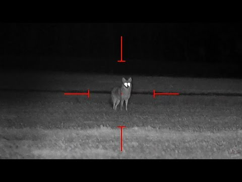 Na lovu kojotů v noci