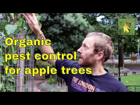Organic pest control: Apple trees Aphids Scab Mildew & fungi. Gardening & allotment fruit tree care.